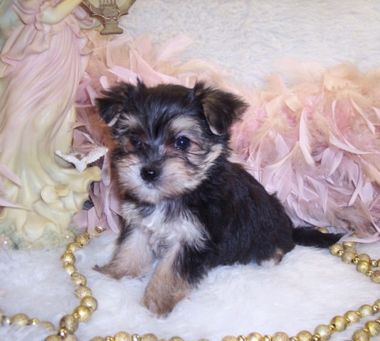 Morkie Puppy Dog For Sale In Silver Creek Mississippi