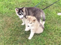 AKC Alaskan Malamute pups ready now! Alaskan Malamute for sale/adoption