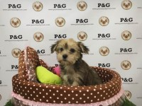 Yorkshire Terrier - Midas - Male Yorkshire Terrier for sale/adoption