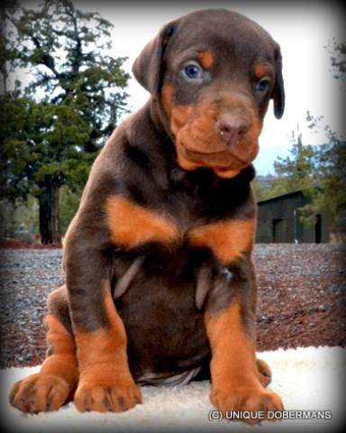 Doberman Pinscher puppy dog for sale in Bend, Oregon