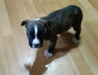 American Pit Bull Terrier Dogs and Puppies for Adoption