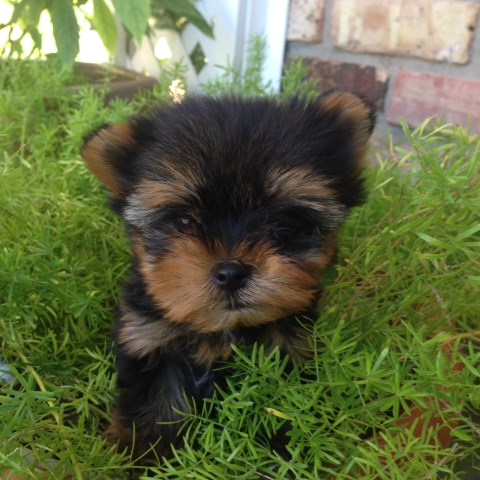 Yorkshire Terrier puppy for sale + 53680