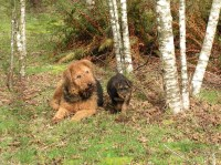 Airedale Terrier Dogs and Puppies for Adoption