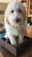 Great Pyrenees Dogs and Puppies for Adoption
