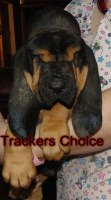 100 % European Imported Top AKC Dual Champion Pedigree ready for Christmas 2016 Bloodhound for sale/adoption