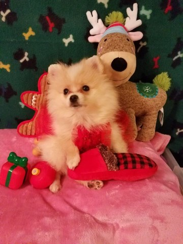Adorable Small Female Pomeranian Puppies for sale