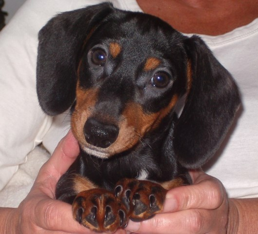 Dachshund Puppy Dog For Sale In Lakeland Florida