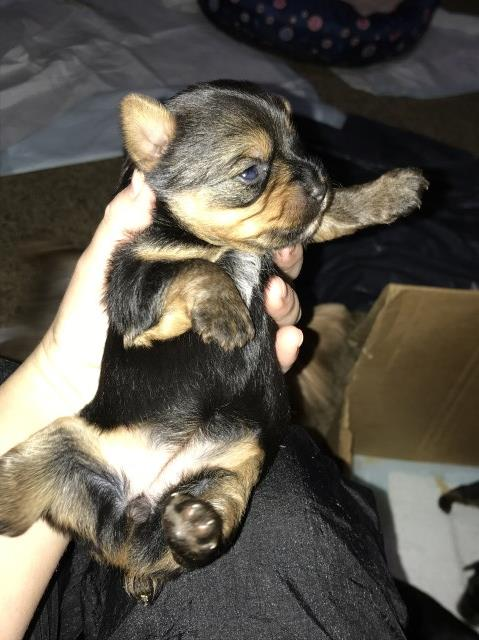 Yorkshire Terrier puppy for sale + 54486