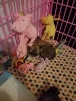 Yorkie and Pomeranian mix puppies, Porkies for sale Yorkshire Terrier for sale/adoption