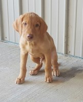 Fox Red Male Lab Labrador Retriever for sale/adoption