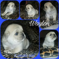 AKC Registered Platnium Pugs Pug for sale/adoption