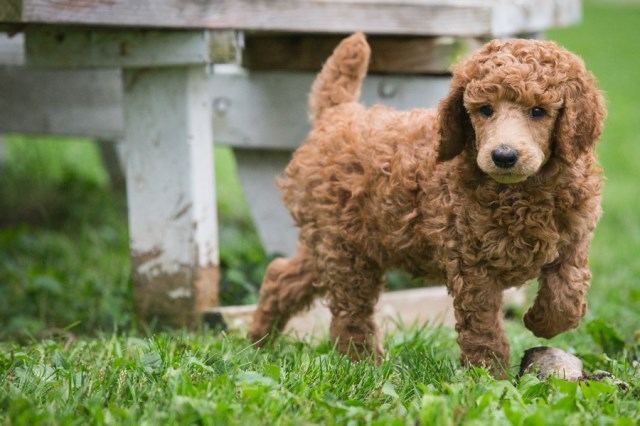 Red Standard Poodle Puppies AKC