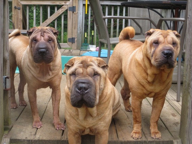 Chinese Shar-Pei puppies and adults