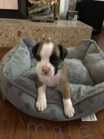 Akc registered Boxer puppies Boxer for sale/adoption