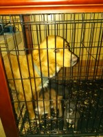 Nova Scotia Duck Tolling Retriever Dogs and Puppies for Adoption