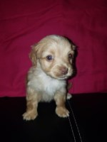 Sweet female Morkie Morkie for sale/adoption
