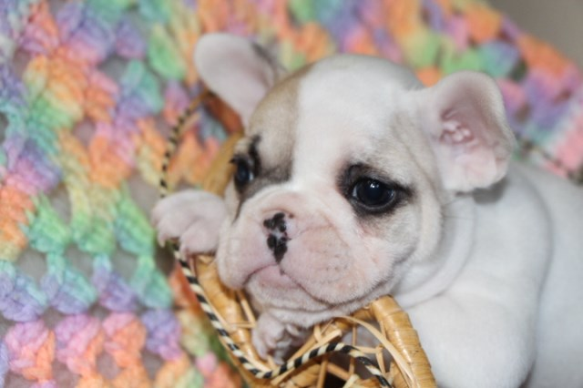 French Bulldog puppy for sale + 51506