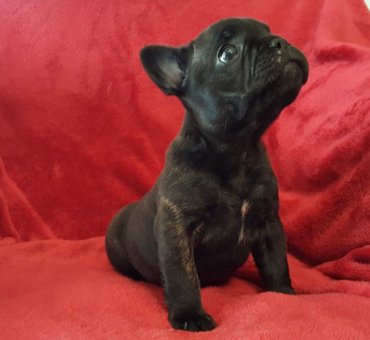 French Bulldog puppy for sale + 51092