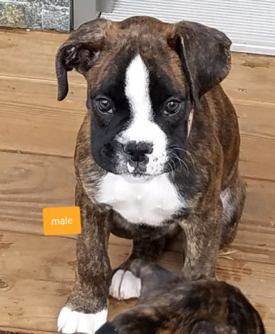 Boxer Puppy Dog For Sale In Back River Falls Wisconsin