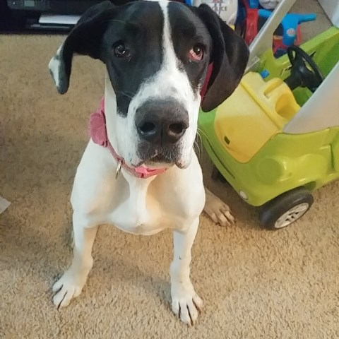 Great Dane puppy dog for sale in Paso Robles, California