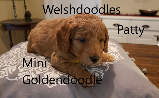 Goldendoodle puppy for sale + 60044