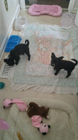 Yorkshire-Chihuahua mix puppies for sale