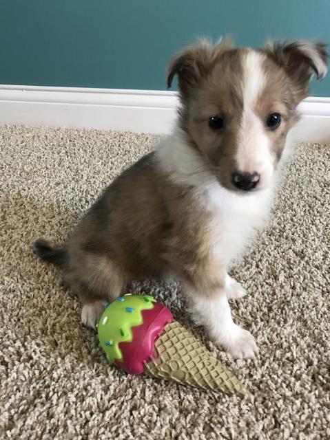 Shetland Sheepdog Puppy Dog For Sale In Bardstown Kentucky