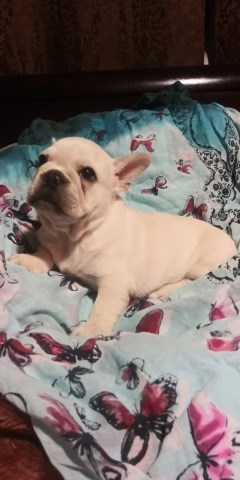 French Bulldog puppy for sale + 49307