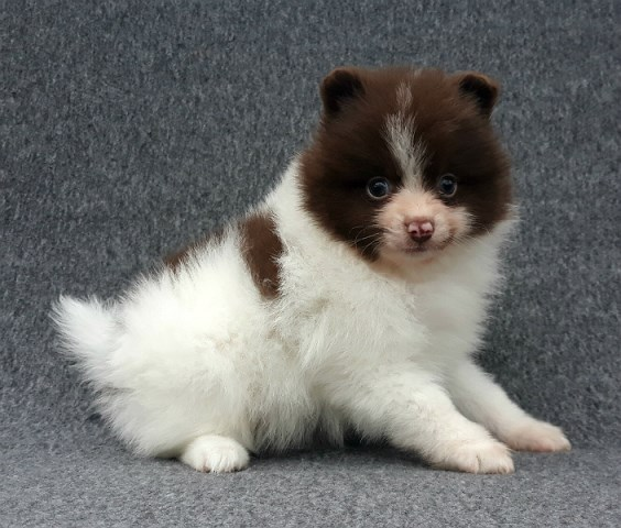Pomeranian puppy for sale + 56580