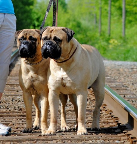 Bullmastiff Puppy Dog For Sale In Halifax Nova Scotia