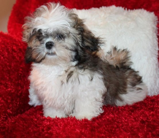 Shih Tzu puppy dog for sale in North Western Cape South Africa