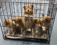 Sheltie Furballs Babies Looking for a Good Home Shetland Sheepdog for sale/adoption