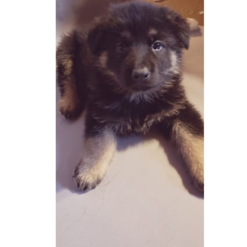 German Shepherd Dog Puppy Dog For Sale In Coldwater Michigan