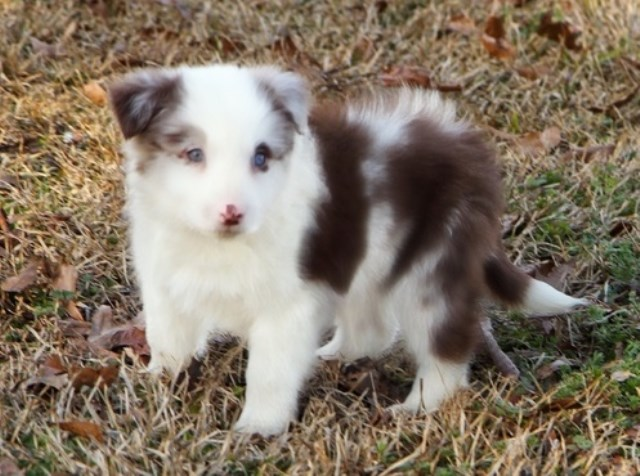 Border Collie Puppy Dog For Sale In Denver Colorado