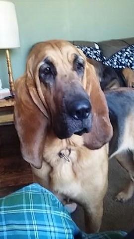 Bloodhound puppy dog for sale in Avoca, Michigan