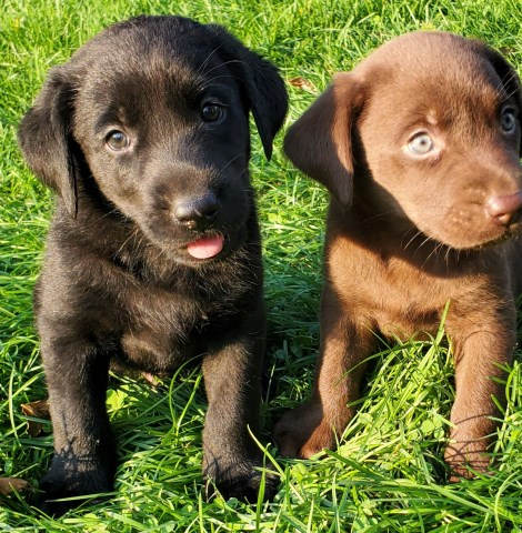 Labrador Retriever puppy for sale + 58728