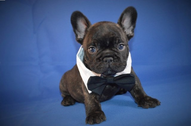 French Bulldog Puppy Dog For Sale In Milwaukee Wisconsin