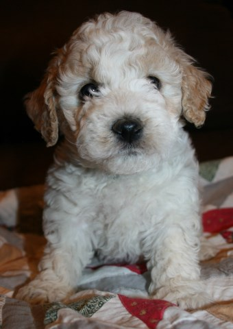 Goldendoodle Puppy Dog For Sale In Holly Colorado