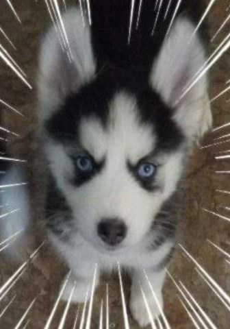 Husky puppy wanting to be part of your forever home
