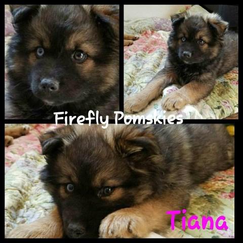 Pomsky Puppy Dog For Sale In Fond Du Lac Wisconsin