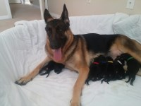 3 akc german shepherd puppies left German Shepherd Dog for sale/adoption