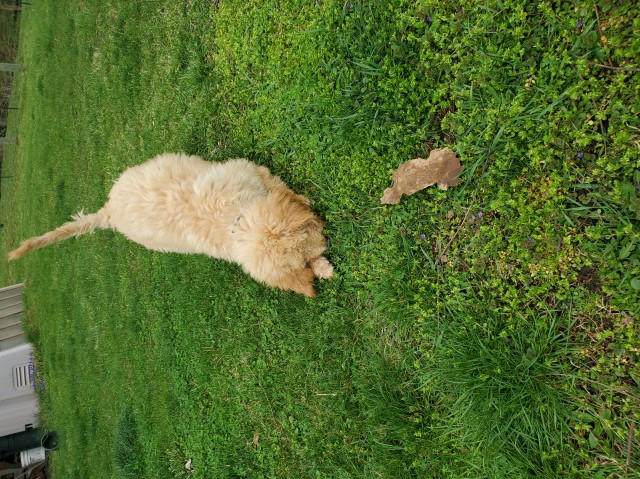 Goldendoodle pup Williamsfield