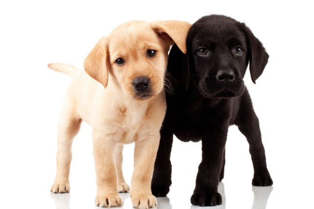 AKC Labrador Retriever Puppies - Upcoming Litter of Blacks and Yellows!  Now Taking Deposits.