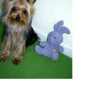 Tiny 3lb Yorkie, perfectly trained Yorkshire Terrier for sale/adoption