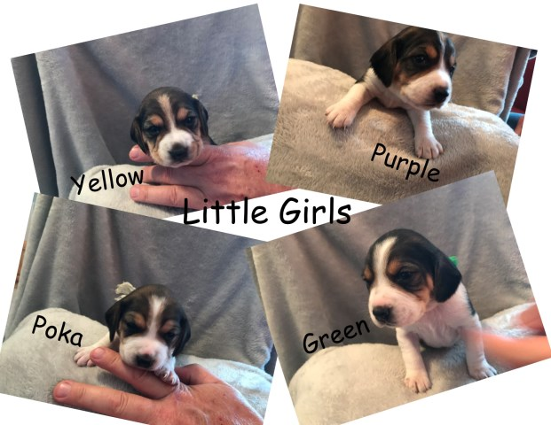Beagle puppy for sale + 56603