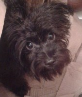 Meet Rambo!! Small but full of personality Miniature Schnauzer for sale/adoption