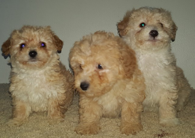 Adorable Poodle Puppies