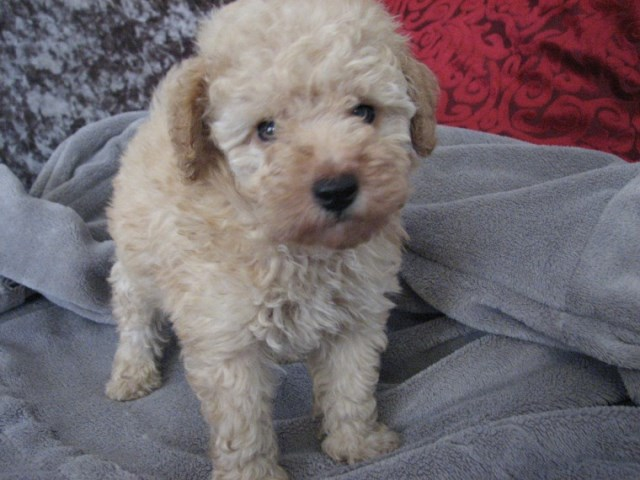 Poodle Toy Puppy Dog For Sale In Islandtion South Carolina