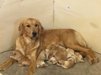 Akc Golden Retriever puppies Golden Retriever for sale/adoption
