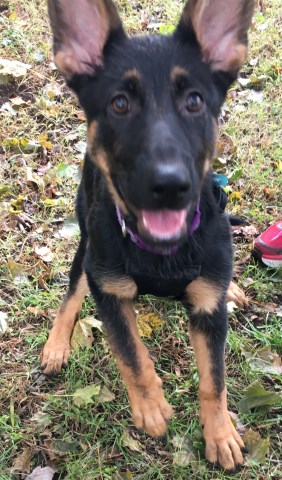 German Shepherd Dog Puppy Dog For Sale In Bowie Maryland